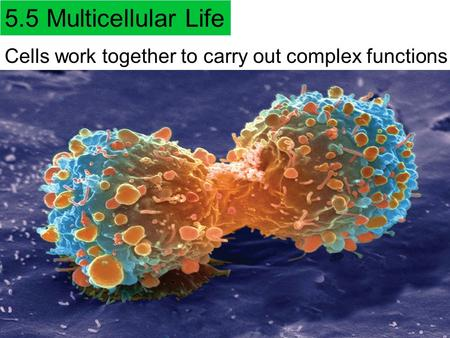 5.5 Multicellular Life Cells work together to carry out complex functions.