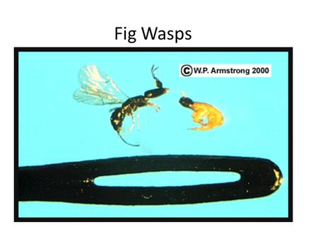 Fig Wasps. Lichens as Bio-indicators Lichens are alga and fungi living symbiotically (they have to live together to survive) The alga make sugars by photosynthesis.