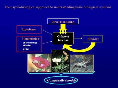 Olfactory function The psychobiological approach to understanding basic biological systems Behavior Direct monitoring Comparative models Experience Manipulation.
