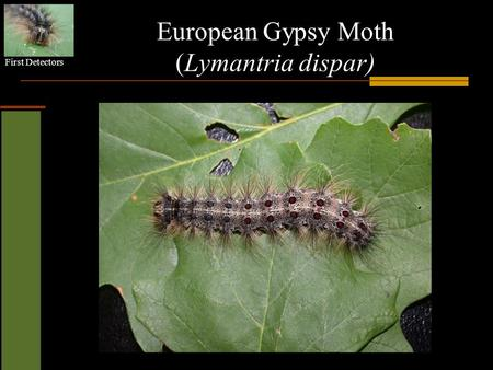 European Gypsy Moth (Lymantria dispar)