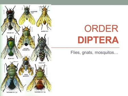 ORDER DIPTERA Flies, gnats, mosquitos…. DIPTERA Di: two Ptera: wings Complete development Chewing (larva) Sponging or piercing sucking (adult)
