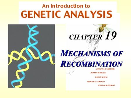 CHAPTER 19 M ECHANISMS OF R ECOMBINATION. Recombination occurs at regions of homology between chromosomes through the breakage and reunion of DNA molecules.
