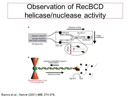 Observation of RecBCD helicase/nuclease activity Bianco et al., Nature (2001) 409: 374-378.