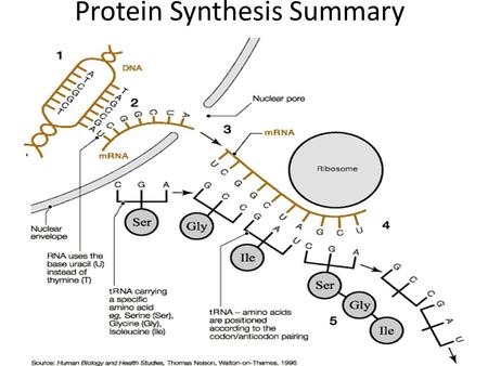 Protein Synthesis Summary. Protein Synthesis 1. The DNA double helix unwinds to expose a sequence of nitrogenous bases. (A,T,C,G) 2. A copy of one of.