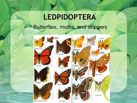 LEDPIDOPTERA Butterflies, moths, and skippers. LEDPIDOPTERA Lepis: scales Ptera: wings Complete Larva: chewing 2 pair Covered with scales (powdery) Butterfly: