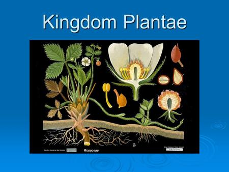 Kingdom Plantae. Basic Characteristics  Organisms within Kingdom Plantae are multicellular, eukaryotic, autotrophic and they lack mobility.  Plants.
