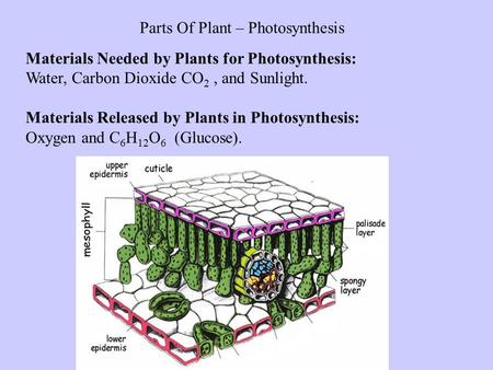 Parts Of Plant – Photosynthesis Materials Needed by Plants for Photosynthesis: Water, Carbon Dioxide CO 2, and Sunlight. Materials Released by Plants in.
