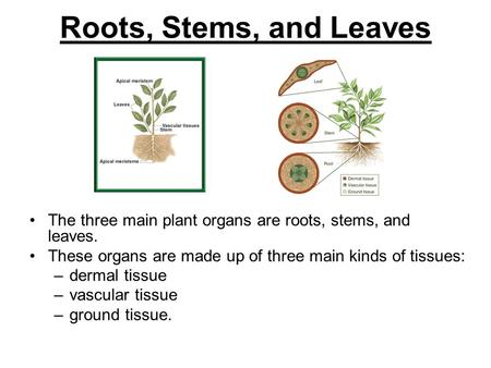 Roots, Stems, and Leaves The three main plant organs are roots, stems, and leaves. These organs are made up of three main kinds of tissues: dermal tissue.