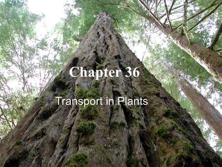 Copyright © 2005 Pearson Education, Inc. publishing as Benjamin Cummings Chapter 36 Transport in Plants.