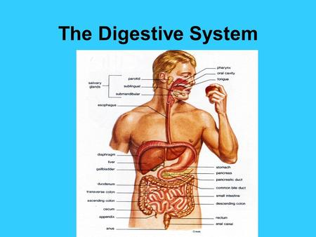The Digestive System. 3 Functions of the digestive system DIGESTION ABSORPTION ELIMINATION.