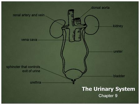 The Urinary System Chapter 9. dia- Meaning: through between apart complete.