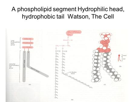 A phospholipid segment Hydrophilic head, hydrophobic tail Watson, The Cell.