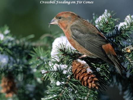 Crossbill Feeding on Fir Cones. Chasing a Snack, Red Fox.