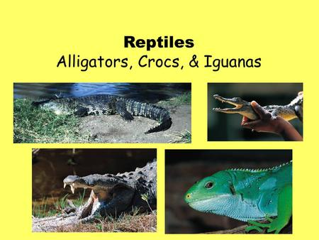 Reptiles Alligators, Crocs, & Iguanas. American Alligators -Will go through 2,000 to 3,000 teeth in a lifetime! -They have originally 74-78 teeth that.