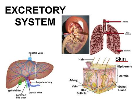 EXCRETORY SYSTEM. Excretory System How does the excretory system maintain homeostasis? –It regulates heat, water, salt, acid-base concentrations and metabolite.