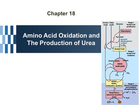 Chapter 18 Amino Acid Oxidation and The Production of Urea.