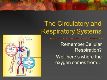 The Circulatory and Respiratory Systems Remember Cellular Respiration? Well here's where the oxygen comes from…