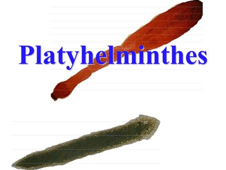 Platyhelminthes Contents Position in animal kingdom Taxonomy Some unique characteristics Systems 1 (Integumentary, Skeletal, Muscle and Digestive)Systems.
