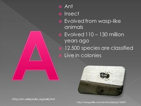  Ant  Insect  Evolved from wasp-like animals  Evolved 110 – 130 million years ago  12.500 species are classified  Live in colonies
