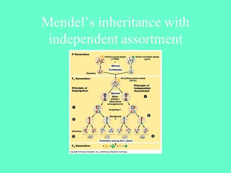 Mendel's inheritance with independent assortment.