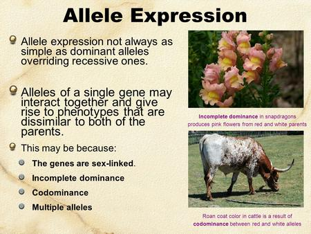 Allele Expression Allele expression not always as simple as dominant alleles overriding recessive ones. Alleles of a single gene may interact together.