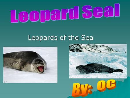 Leopards of the Sea. Species  Their species is the Hydrurga Leptonyx.  The Leopard Seals order is a Carnivora their suborder is the Pinnepedia.  The.