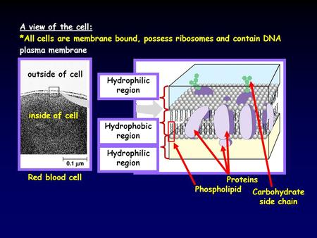 A view of the cell: plasma membrane *All cells are membrane bound, possess ribosomes and contain DNA Red blood cell outside of cell inside of cell Hydrophobic.
