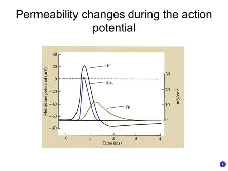 Permeability changes during the action potential 1.