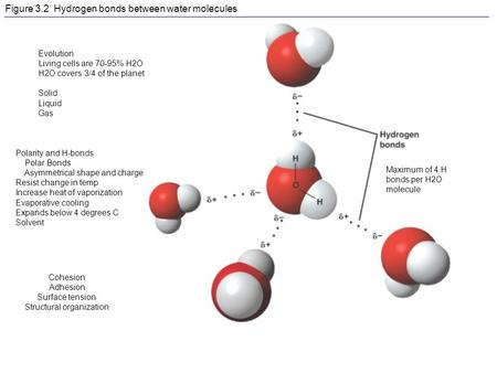 Figure 3.2 Hydrogen bonds between water molecules Evolution Living cells are 70-95% H2O H2O covers 3/4 of the planet Solid Liquid Gas Polarity and H-bonds.