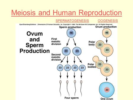 Meiosis and Human Reproduction SPERMATOGENESISOOGENESIS.