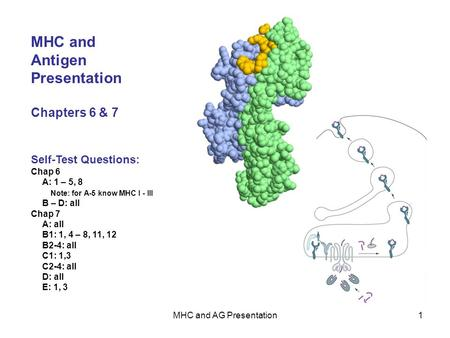 MHC and AG Presentation1 MHC and Antigen Presentation Chapters 6 & 7 Self-Test Questions: Chap 6 A: 1 – 5, 8 Note: for A-5 know MHC I - III B – D: all.