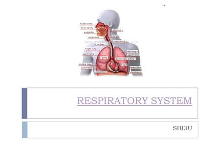 RESPIRATORY SYSTEM SBI3U. RESPIRATION:  Organisms obtain oxygen which is necessary for the release of energy from food (i.e. breathing) Cellular Respiration: