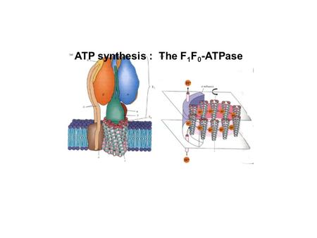 "ATP synthesis : The F 1 F 0 -ATPase. Hypotheses on the mechanism of ATP synthesis in mitochondria: ""Substrate level phosphorylation"" -- coupling of ATP."