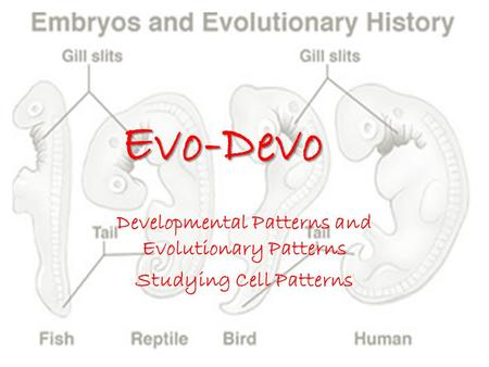 Evo-Devo Developmental Patterns and Evolutionary Patterns