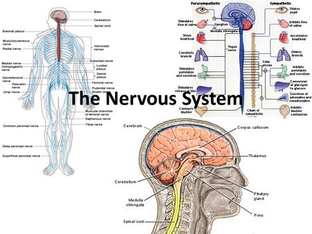The Nervous System. I. The Nervous System A. The Nervous system controls & coordinates functions throughout the body and responds to internal & external.