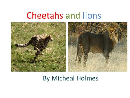 Cheetahs and lions By Micheal Holmes.