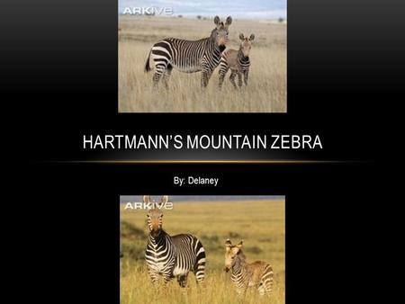By: Delaney HARTMANN'S MOUNTAIN ZEBRA. HABITAT The Hartmann Mountain Zebra's habitat is dry, stony mountain's and hills.