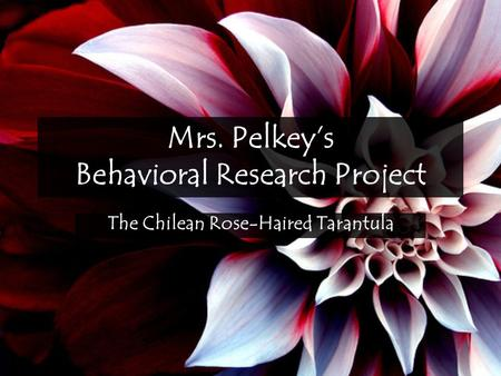 Mrs. Pelkey's Behavioral Research Project The Chilean Rose-Haired Tarantula.