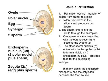 Double Fertilization 1.Pollination occurs – transfer of pollen from anther to stigma 2. Pollen tube forms in the stigma and produces two sperm 3. The sperm.