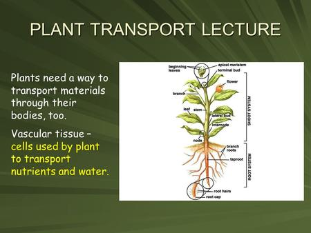 <strong>PLANT</strong> <strong>TRANSPORT</strong> LECTURE <strong>Plants</strong> need a way to <strong>transport</strong> materials through their bodies, too. Vascular tissue – cells used by <strong>plant</strong> to <strong>transport</strong> nutrients.