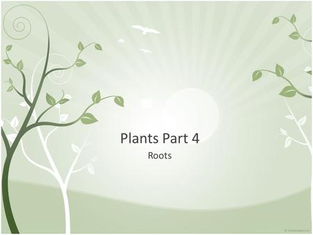 Plants Part 4 Roots. Serve 3 important functions: anchors, absorb minerals and water, and they transport those minerals and water Two main types of roots: