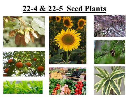 22-4 & 22-5 Seed Plants. Seed Plants Divided into two groups: –Gymnosperms – have seeds directly on surfaces of cones –Angiosperms – have seeds within.