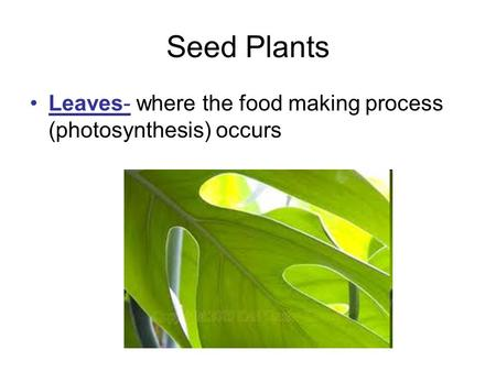 Seed Plants Leaves- where the food making process (photosynthesis) occurs.