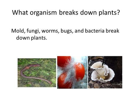 What organism breaks down plants? Mold, fungi, worms, bugs, and bacteria break down plants.