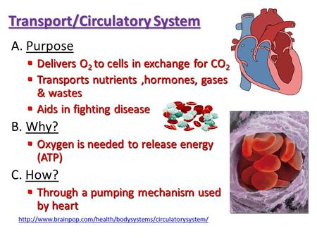 Transport/Circulatory System A. Purpose  Delivers O 2 to cells in exchange for CO 2  Transports nutrients,hormones, gases & wastes  Aids in fighting.