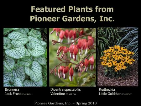 Featured Plants from Pioneer Gardens, Inc. Brunnera Jack Frost PP #13,859 Rudbeckia Little Goldstar PP #22,397 Pioneer Gardens, Inc. – Spring 2013 Dicentra.