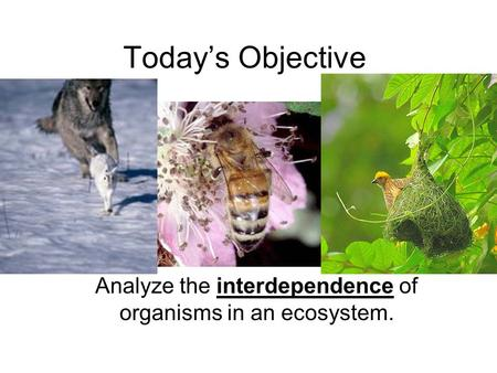 Today's Objective Analyze the interdependence of organisms in an ecosystem.
