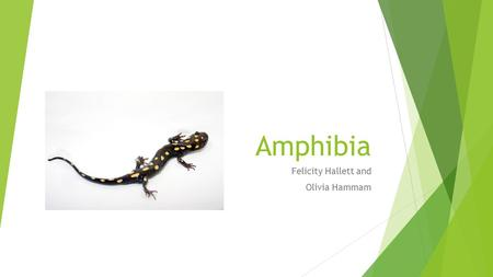 Amphibia Felicity Hallett and Olivia Hammam. Scientific Classification  Kingdom : Animalia  Phylum : Chordata  Subphylum : Vertebrata  Class : Amphibia.