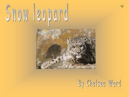 Snow leopard By Chelsea Ward.