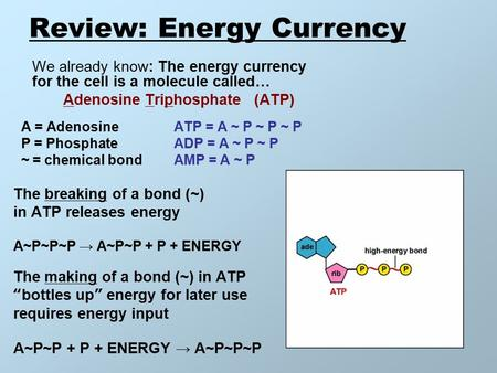 Review: Energy Currency We already know: The energy currency for the cell is a molecule called… Adenosine Triphosphate (ATP) A = Adenosine ATP = A ~ P.
